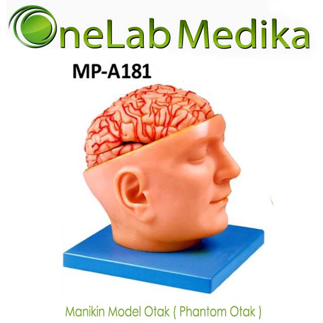 Manikin Model Otak Phantom Otak